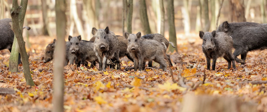 how to hunt hogs for beginners