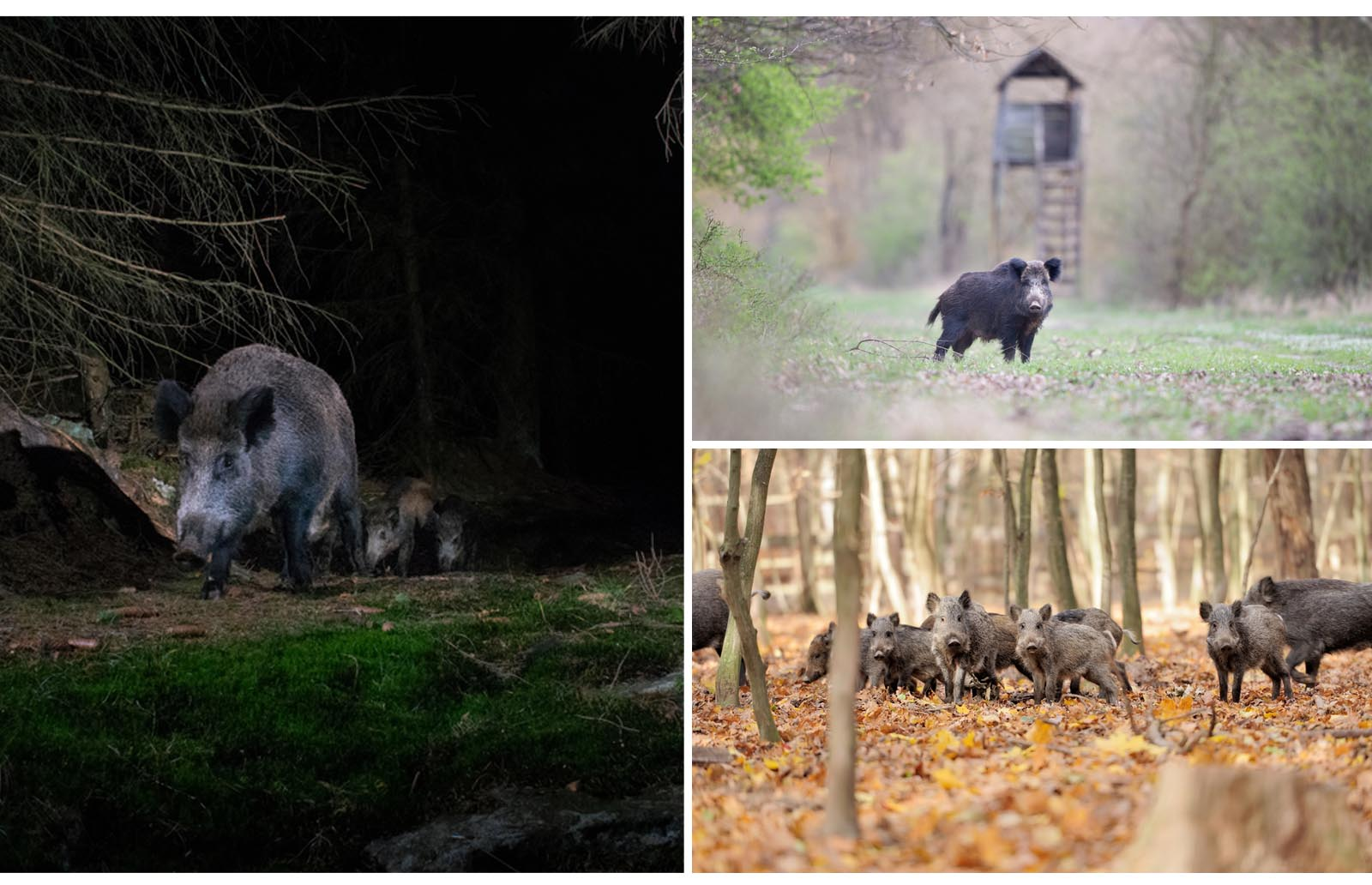 hunting feral hogs