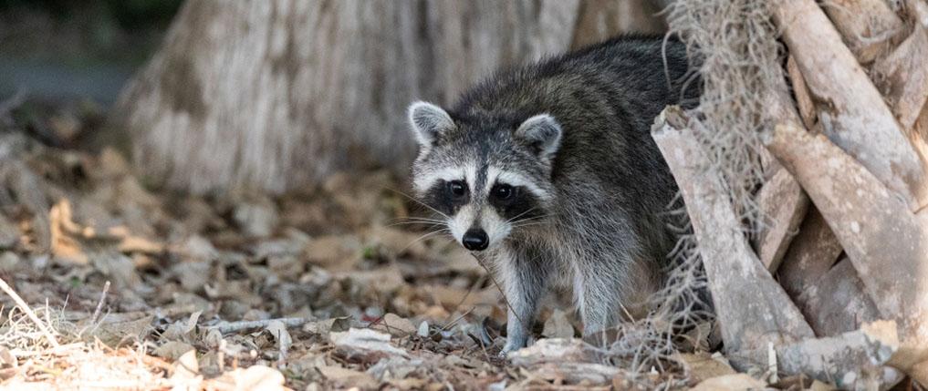 how to hunt raccoons